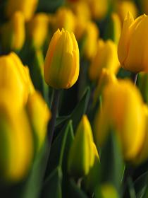 黄色のチューリップ畑