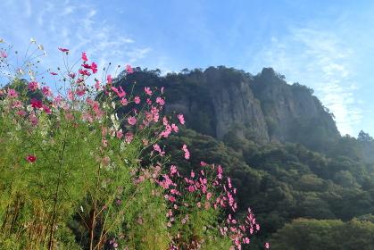 コスモスと岩山 (群馬県・岩櫃山)