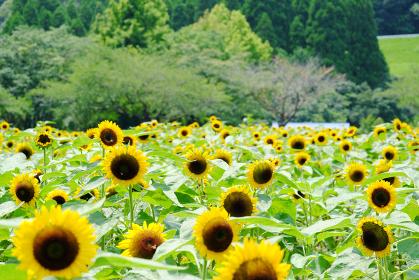 満開に咲いた都市農業センターの真夏の向日葵