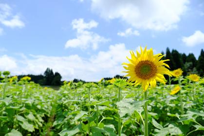 晴れの日のヒマワリ畑
