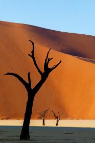 Dead acacia in Dead Vlei, Sossusvlei Namibia Africa
