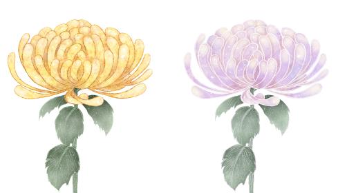菊の花 紫と黄色