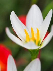 白い花タマスダレ
