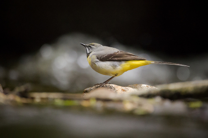 A grey wagtail bird stood on a rock in a river