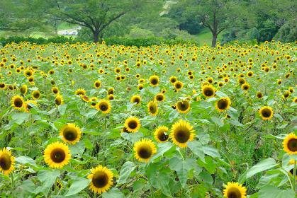 鹿児島の都市農業センターで満開に咲くひまわり
