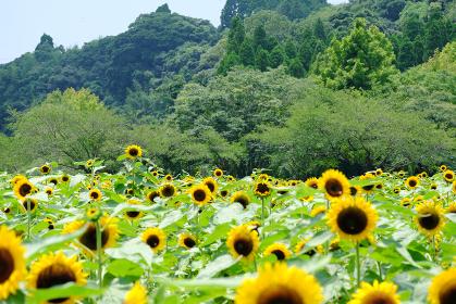 山の中で咲く沢山の向日葵