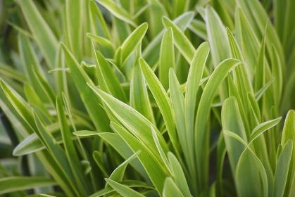 ナチュラルガーデン宿根草のヤブラン