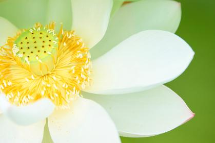 白い蓮の花の花びらアップ