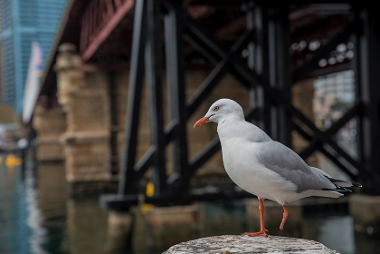seagull in Sydney harbor Australia