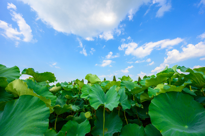 初夏の青空の下の咲く二千年ハスの畑