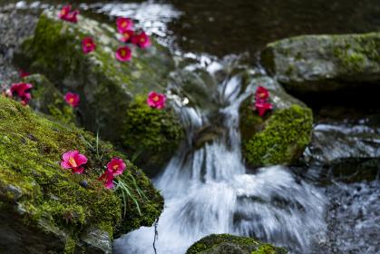 落ち椿 桜木神社象の小川
