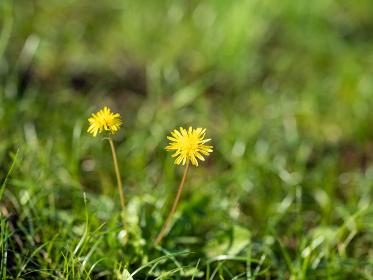 丘に咲くタンポポ