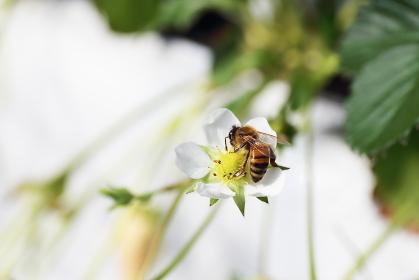 苺の花粉を集めるミツバチ