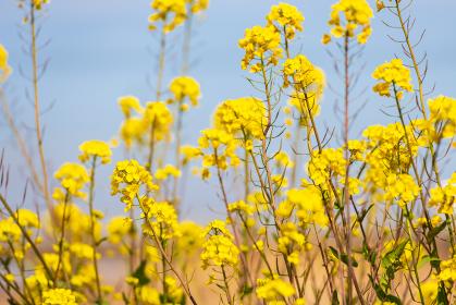 春の綺麗な黄色の菜の花