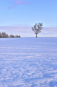 雪原の白樺