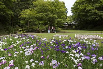鎌倉 明月院の花菖蒲