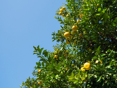 冬の青空と黄色い柑橘系の実