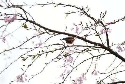 ヤマガラとしだれ桜の花