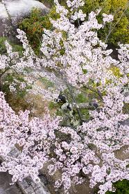 満開の桜の花(真上から撮影)