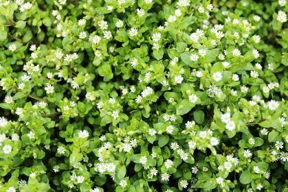 小さく白いハコベの花