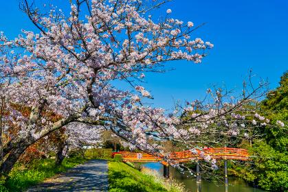 青空の宇佐神宮で見つけた満開の桜【大分県】