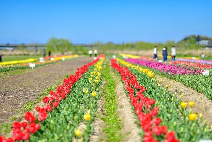 春の青空とカラフルなチューリップ畑