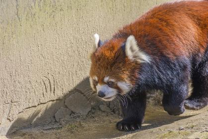 仙台の八木山動物園のレッサーパンダ