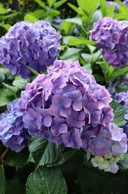 六月の季節 梅雨の花 満開の青紫の紫陽花