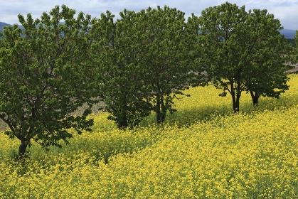菜の花とサクランボの木