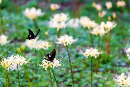 黒いアゲハ蝶と白い曼珠沙華の花