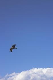 静岡県 沼津市 青空を飛ぶとんび