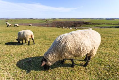 日本・北海道東部の標茶町、多和平展望台の羊