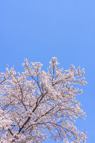 桜 ソメイヨシノ
