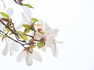 白いコブシの花の枝先アップ 白背景