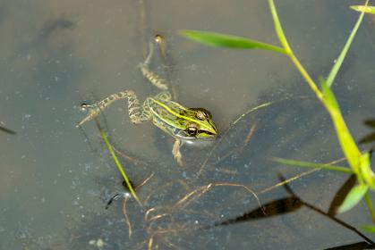 池で泳ぐトノサマガエル