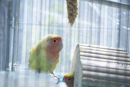 鳥小屋にいるかわいいペットのインコ