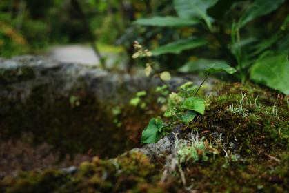 苔むした石臼に育つ小さな植物 2