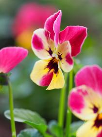 カラフルな小さい花パンジー