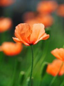 オレンジの花ヒナゲシ