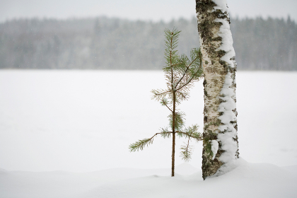 Two trees together in winter landscape