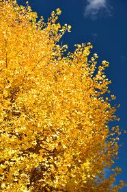 イチョウの木、紅葉