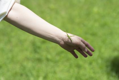 女性の手首に飛んできた草原のバッタ