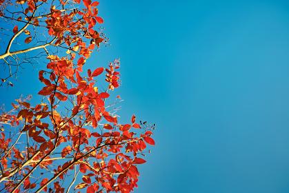 青空背景の下から見上げた左側に実のついたサルスベリの紅葉