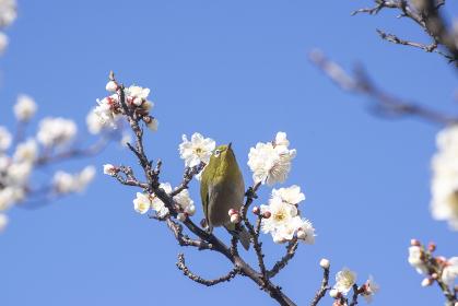 早春のメジロと白い梅の花
