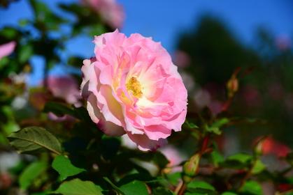 青空に映えるピンク系のばら