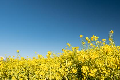 早春の吾妻山公園の菜の花