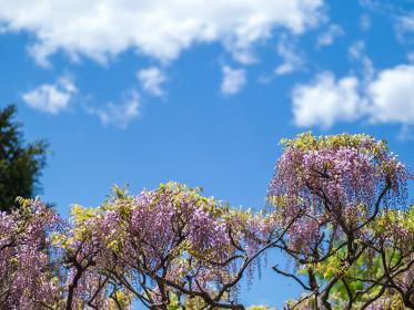 青空と満開の藤の花 4月