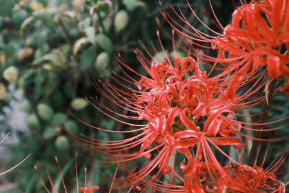 紅に染まる美しい彼岸花