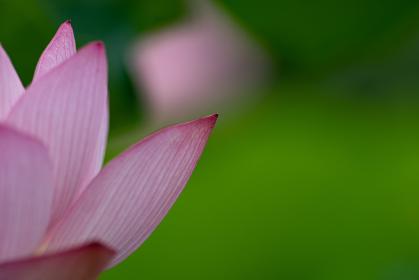 蓮の花びらと新緑の葉 7月