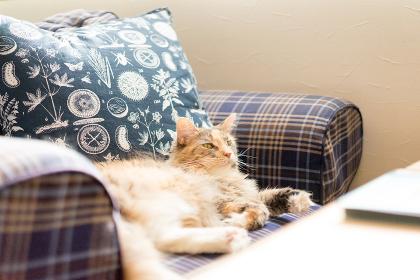 猫(メインクーン)・室内・ソファ